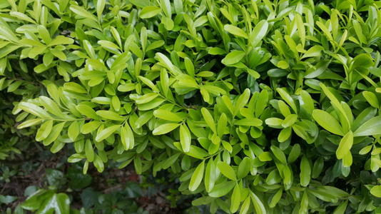 care forHarland boxwood