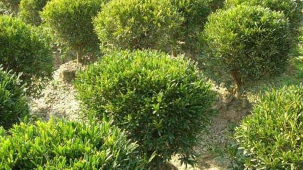 How to grow and care for harland boxwood