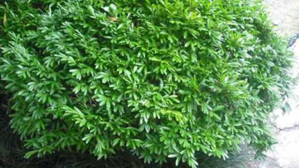 How to care for harland boxwood