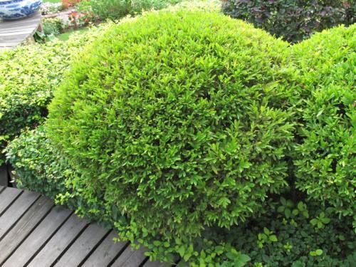 Harland Boxwood propagation methods