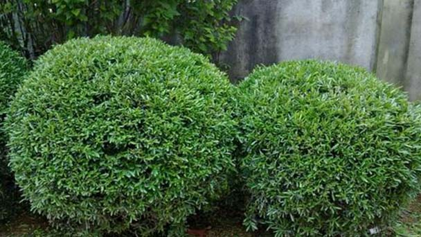 How to propagate harland boxwood