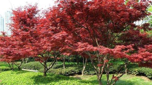 Japanese maple profile