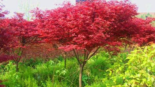 How to propagate Japanese maple