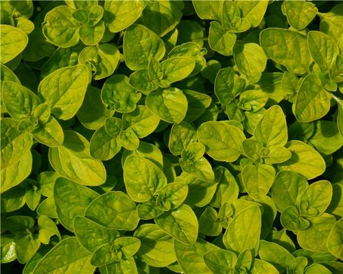 propagation methods of oregano