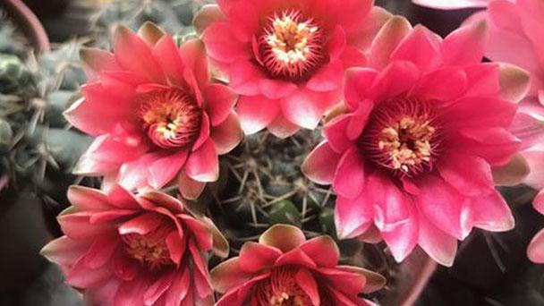 Dwarf chin cactus profile