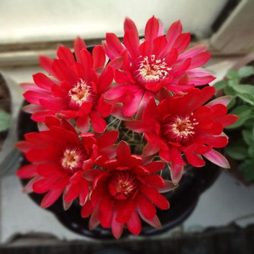 care for Dwarf chin cactus