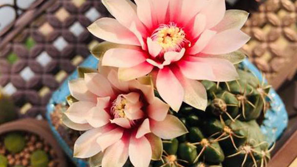 How to grow and care for dwarf chin cactus