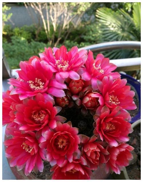 Dwarf chin cactus