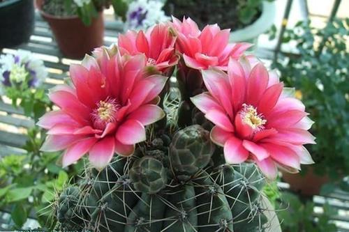 propagate dwarf chin cactus
