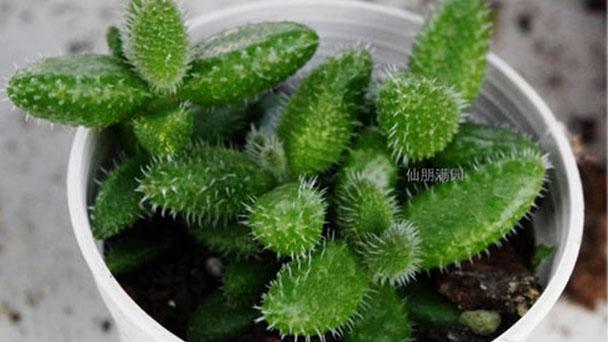Pickle plant profile
