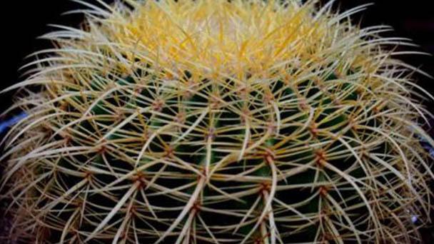 How to care for golden barrel cactus
