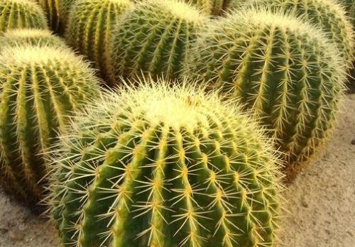 Golden Barrel Cactus propagate