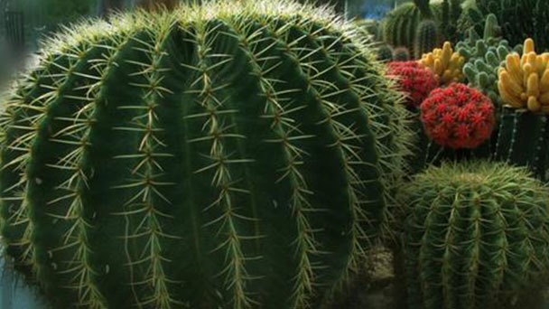 How to propagate golden barrel cactus