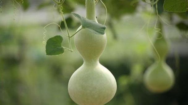 How to grow calabash