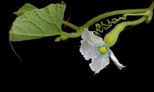 grow calabash