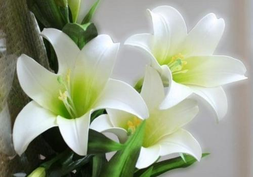 How to grow lily