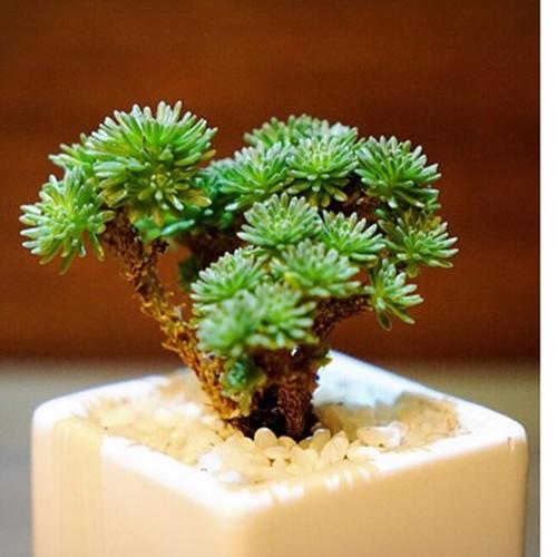 Miniature Joshua tree