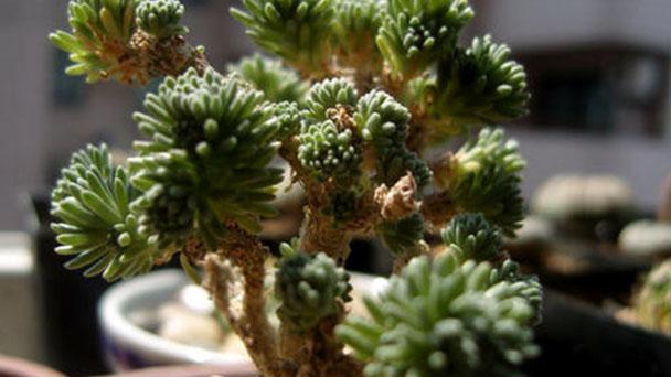 How to propagate miniature Joshua tree