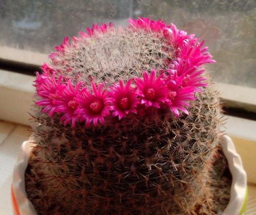 grow and care for Old Lady Cactus