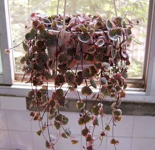 string of hearts care
