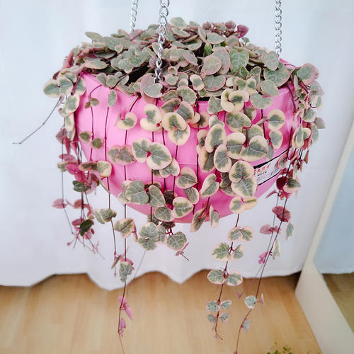propagation methods of string of hearts