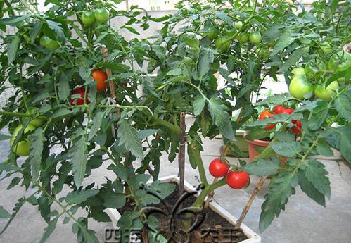 4 best fruits plants to grow indoors