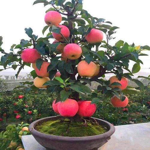 6 best dwarf fruit trees for containers