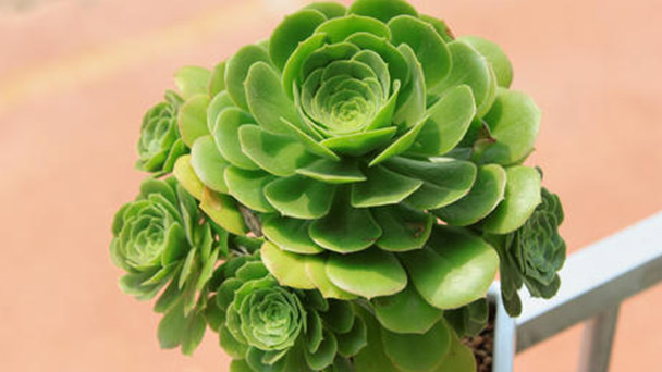 How to grow and care for Aeonium holochrysum