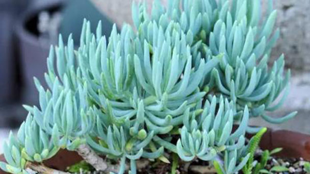 How to grow and care for Blue Chalksticks