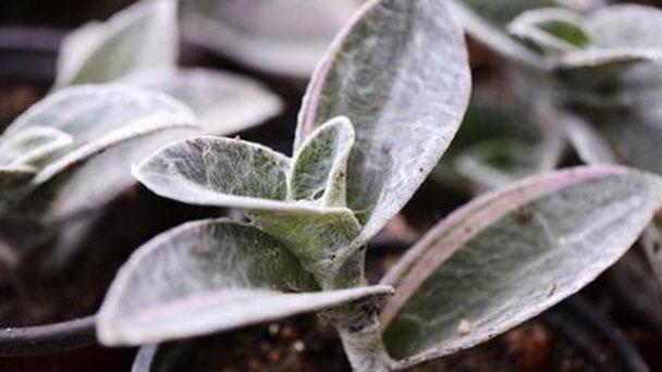 How to propagate cobweb spiderwort