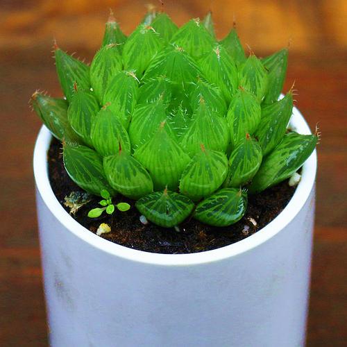 propagate Haworthia cymbiformis