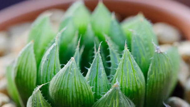 How to propagate Haworthia cymbiformis