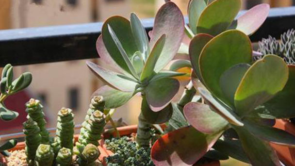 How to care for paddle plants