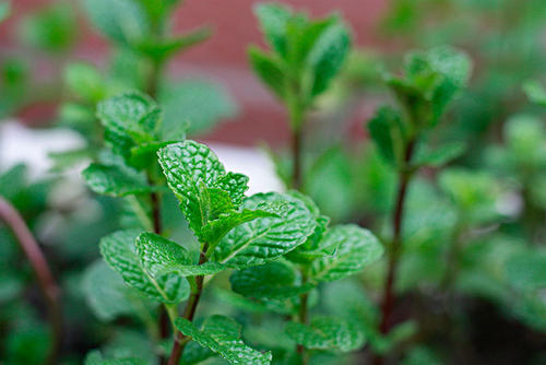 7 best windowsill herbs