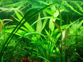 care for Amazon Sword plants in a fish tank