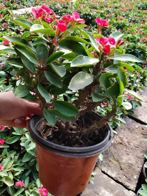propagation method for Barbados Gooseberry
