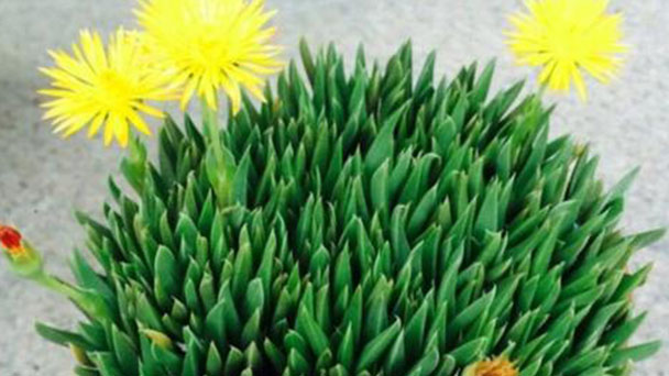 How to grow and care for Bergeranthus multiceps