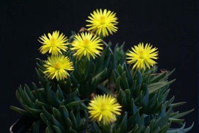 care for Bergeranthus multiceps