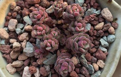 propagation methods of Sedum versadense