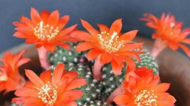 Red crown cactus profile