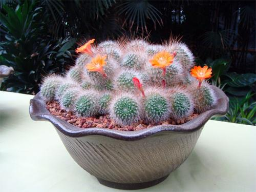 Red crown cactus