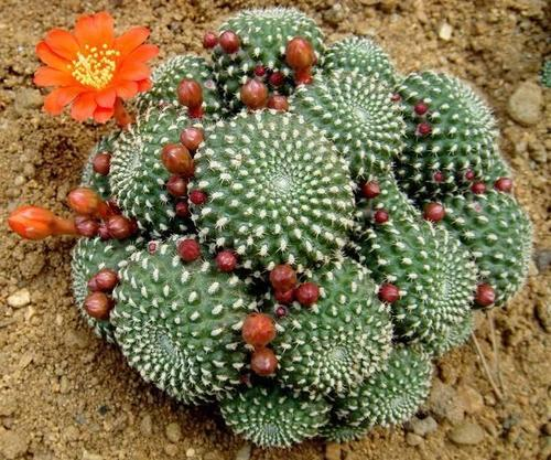 propagate red crown cactus