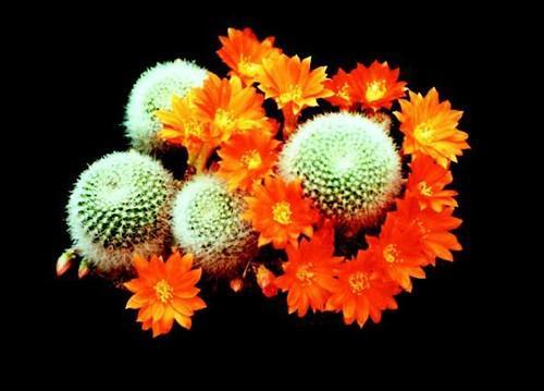 red crown cactus care