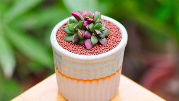 How to grow and care for sunrise succulent
