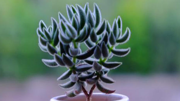 Crassula mesembrianthoides: plant growing & care tips