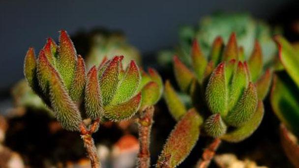 How to care for Crassula mesembrianthoides