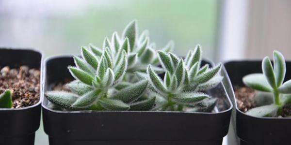 care for Crassula mesembrianthoides