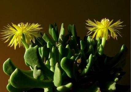 propagate Rhombophyllum nelii