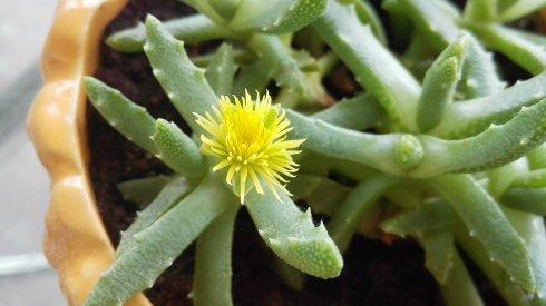 Stomatium niveum