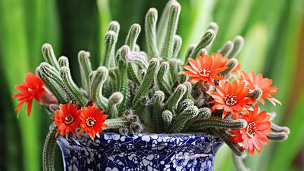 How to grow and care for rattail cactus